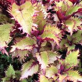 Coleus is a former genus of flowering plants in the family Lamiaceae. In recent classifications, the genus is no longer recognized, and the formerly included stock photography