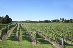 Long Island Vineyard Royalty Free Stock Photography