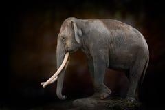Long ivory elephant Royalty Free Stock Image