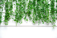 Long ivy. On the white wall Stock Photography