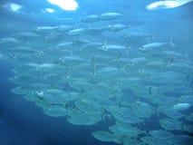Long-jawed Mackerel Stock Images