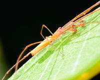 Long-jawed Orb Weaver Stock Images
