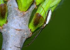 Long-jawed Orb Weaver Spider Stock Images