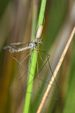 Long-jawed orb weaver Royalty Free Stock Images