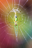 Long jawed spider Stock Photography