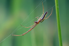 Long Jawed Spider (Tetragnatha Extensa) Stock Images