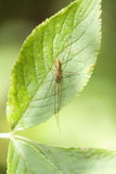 Long-jawed spider Royalty Free Stock Photo