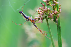 Long Jawed Spider (Tetragnatha Extensa) Royalty Free Stock Image