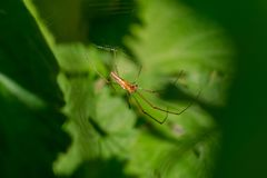 Long jawed spider Royalty Free Stock Images