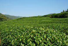 Long Jing Tea Valley Royalty Free Stock Photography