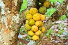Long kong. Thai native fruit name in thai is Long Kong royalty free stock photography