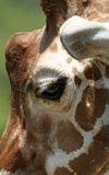Long Lashes. Close up image of giraffe profile showing off its long eye lashes Royalty Free Stock Images