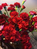 These long lasting red carnations where bargain since they have lasted so long. These long lasting red carnations were worth the money spent Stock Images