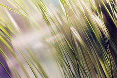 Long leaf pine. Blurred image of a pine tree branch, on the morning sun, blurred 100 Royalty Free Stock Image