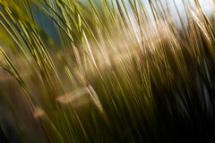 Long leaf pine. Branch of a long leaf pine tree, blurred 100 Stock Photos