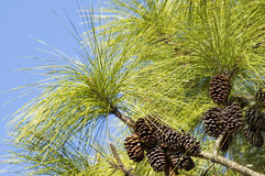 Long Leaf Pine Needles and Pine Cones. Long leaf pine needles and clusters of pine cones against blue sky background Stock Photo