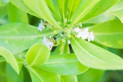 Long leafed beach plant blossoms tiny white flowers. Beautiful big green leafy plants a long the coast of Florida begin to bloom tiny white flowers stock images