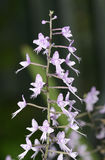 Long-Leafed Stenoglottis Orchid. Stenoglottis longifolia from South Africa stock photography