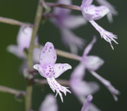 Long-Leafed Stenoglottis Orchid. Stenoglottis longifolia from South Africa royalty free stock photography