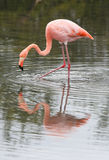 Long Leg Flamingo Stock Photos