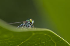 Long leg fly. Royalty Free Stock Images