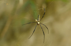 Long leg spider. Giant Long-Jawed spider in nature Stock Images