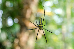 Long leg spider. Royalty Free Stock Photo