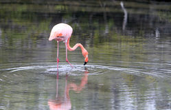 Long Leg Wading Flamingo Stock Photos