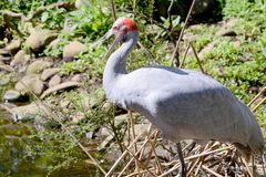 Long legged brolga in Auatralia. The long legged brolga is an Australian bird which is mostly grey but has a red band around the top of it`s neck. It is a kind Royalty Free Stock Photo