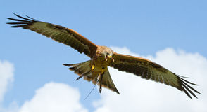 A long-legged buzzard. A close-up of a long-legged buzzard Stock Photos