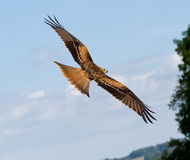 A long-legged buzzard. A close-up of a long-legged buzzard Royalty Free Stock Photos