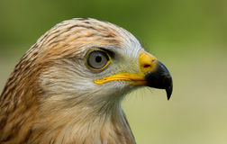 A long-legged buzzard. A close-up of a long-legged buzzard Royalty Free Stock Photography