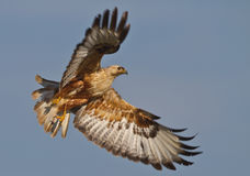Long-legged Buzzard. With the wings wide open royalty free stock photography