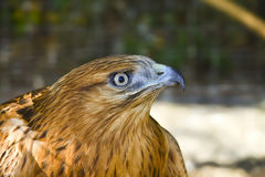 Long-legged buzzard Royalty Free Stock Images