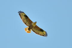 Long-legged Buzzard (Buteo rufinus) Stock Images