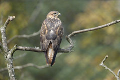 Long-legged buzzard, Buteo rufinus Royalty Free Stock Photo