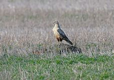 The long-legged buzzard Buteo rufinus sits on a hill royalty free stock image