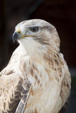 Long-legged buzzard Royalty Free Stock Photos