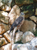 Long-Legged Buzzard is sitting on a rock Stock Photography