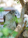 Long-Legged Buzzard is sitting on a tree royalty free stock photography
