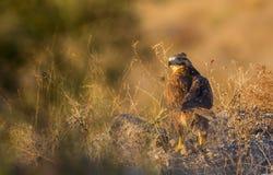 Long-legged Buzzard under Setting Sun Stock Photo