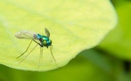 Long Legged Chrome Blue, Green and Orange Fly. A single close up shot of an amazing tiny long legged almost robot looking chrome blue, green and orange fly stock photo
