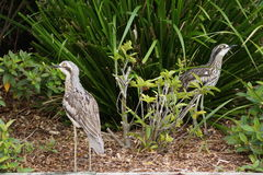 Long legged desert birds Royalty Free Stock Images