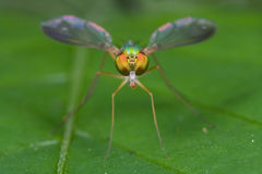 Long legged fly Royalty Free Stock Photography