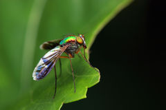 Long Legged Fly Stock Image