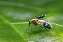 Long Legged Fly Royalty Free Stock Images