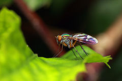 Long Legged Fly Royalty Free Stock Photos