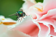 Long-legged fly Stock Photos