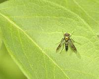 Long-legged fly Royalty Free Stock Image