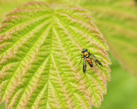 Long-legged Fly Royalty Free Stock Images